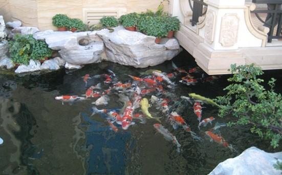 建造锦鲤鱼池过滤系统 1,鱼池池底净化管道系统:pvc给水管道    2
